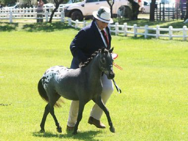 <small><b>Reserve Junior Champion Stallion</b><br>
